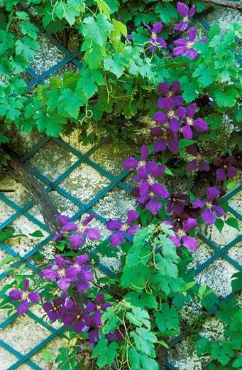 Purple clematis agains a wall : Stock Photo