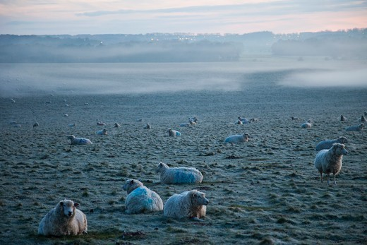 Stock Photo: 1606-183581 England,Wiltshire,Sheep in Field