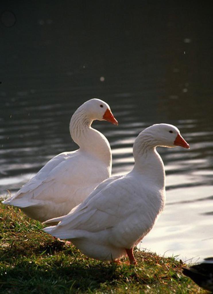 Belgium, Wallonia, Lobbes, geese, : Stock Photo