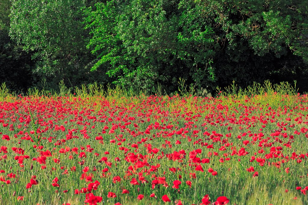 Stock Photo: 1606-185934 France, poppy field in bloom, amid forest in spring