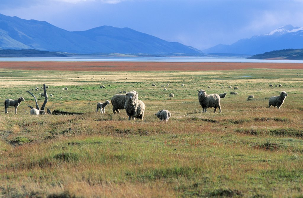 Sheep in the pampas;Near El Calafate; Patagonia;Argentina : Stock Photo