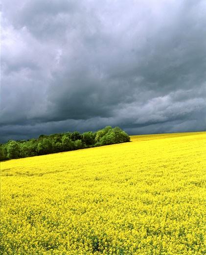 France, chalky Champagne, rape field, copse, grey sky : Stock Photo