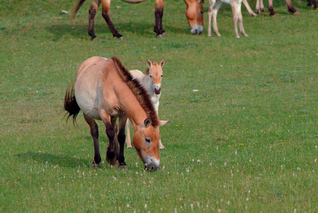 Stock Photo: 1606-191681 France, Languedoc Roussillon, Przewalski horse