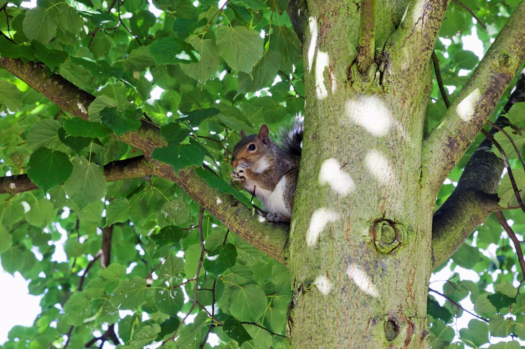 England,London,Regents Park,Grey Squirrel : Stock Photo