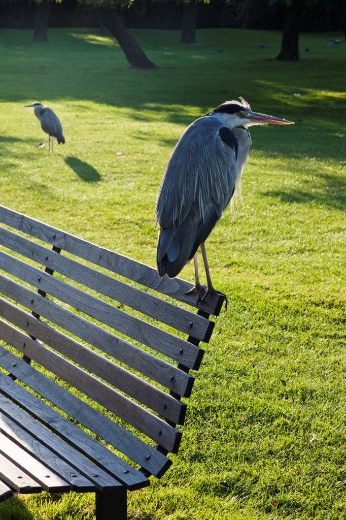 England,London,Regents Park,Grey Heron : Stock Photo
