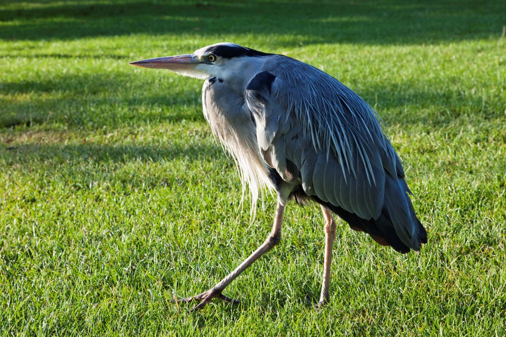 Stock Photo: 1606-192132 England,London,Regents Park,Grey Heron