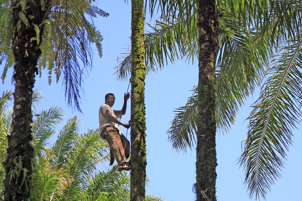 Brazil, Bahia State, Camamu Bay, Man Picking Fruits On A Palm Tree : Stock Photo