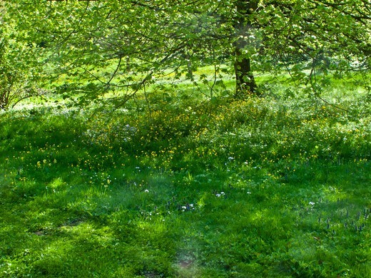 Meadow And Blooming Apple Tree In Spring : Stock Photo
