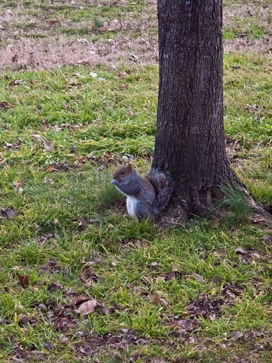 Stock Photo: 1606-193446 USA, New York City, Squirrel In Central Park