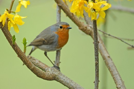 Stock Photo: 1606-196944 France, Midi Pyrenees, A Single European Robin Bird (Erithacus Rubecula)
