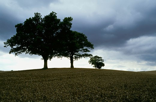 England, Oxfordshire landscape, trees in backlighting, ripe wheat field, cloudy sky : Stock Photo
