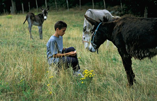 France, Auvergne, Puy-de-Dôme, Livradois Forez, young boy feeding donkeys in a field : Stock Photo
