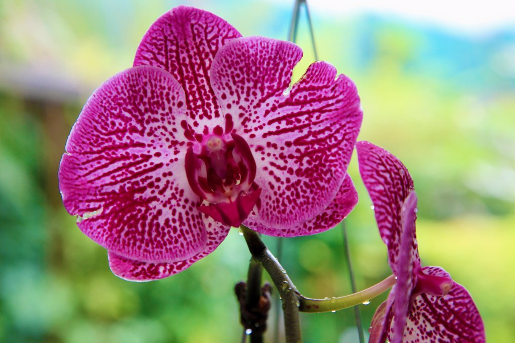 Stock Photo: 1606-213943 Asia,Malaysia, Kuala Lumpur, Lake Gardens, Orchid Garden, orchideas, flowers,
