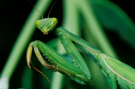 Praying mantis, close-up, oudoors : Stock Photo