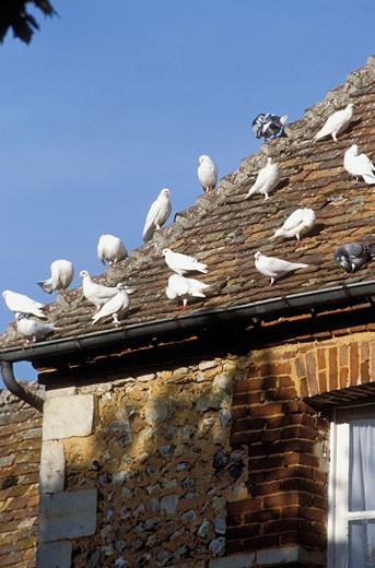 14. Normandie, gros plan sur colombes sur toit d'une maison ancienne, ciel bleu : Stock Photo
