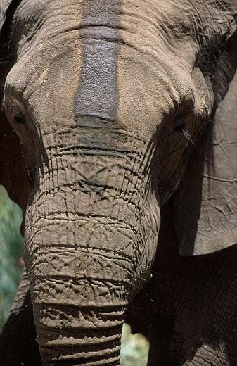 "Botswana, region of Ngamiland, Okavango delta, Benny, the elephant has lost its tusks before its arrival at ""Abu's Camp"" : Stock Photo"