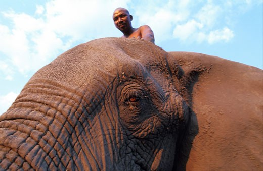 Stock Photo: 1606-23083 Botswana, region of Ngamiland, Okavango delta, David, chief of the elephant drivers, with Abu