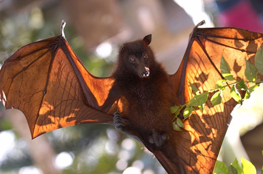 Indonesia, Bali, close-up on bat : Stock Photo