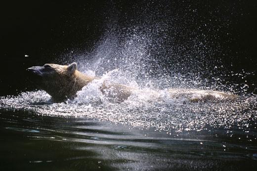 Brown bear shaking itself : Stock Photo