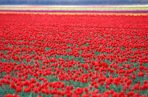 Stock Photo: 1606-31060 France, Aquitaine, Gironde, Médoc, Blagon, red tulip field