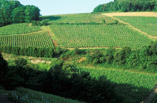 France, Burgundy, Saône et Loire, Vinzelles, green vineyard, trees and hill at the back : Stock Photo