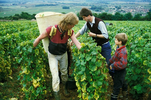 Stock Photo: 1606-32023 France, Burgundy, Cote d'Or, Puligny Montrachet, grape harvest