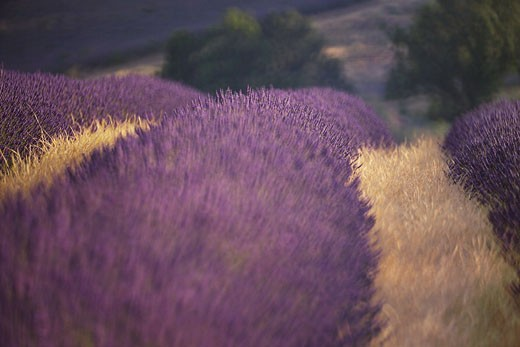 France, Provence-Alpes-Côte d'Azur, Vaucluse, Plateau d'Albion, furrows in lavender field : Stock Photo