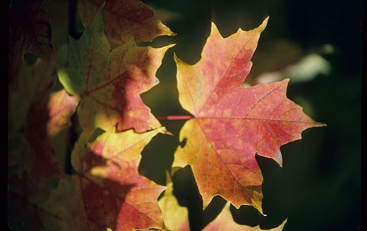 Canada, Quebec, maple leaf in automn : Stock Photo