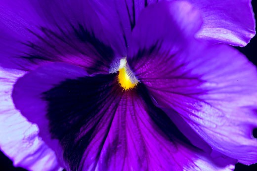 Close-up on pansy : Stock Photo