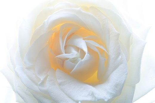 Close-up on white rose : Stock Photo