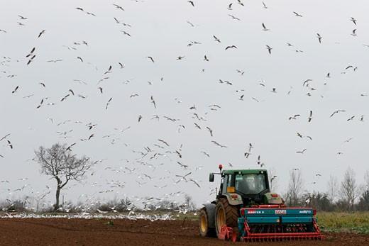 France, Pays de la Loire, Loire-Atlantique, Pays de Retz, passage of harrow in poughed field, sea gulls : Stock Photo