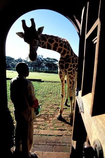 Kenya, Nairobi region, the Giraffe Manor : Stock Photo
