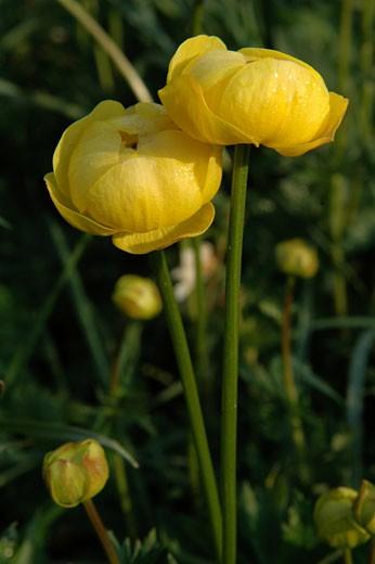Yellow wild flowers (trollius europaeus), close-up : Stock Photo