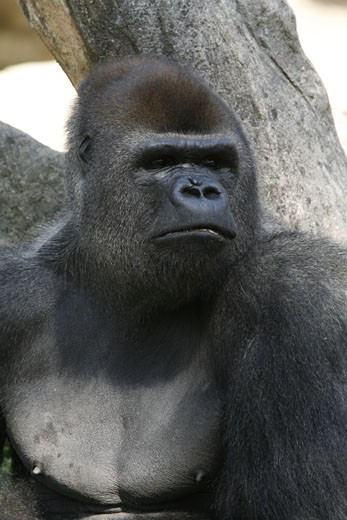 Stock Photo: 1606-44123 Gorilla