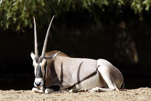 Stock Photo: 1606-44129 Oryx