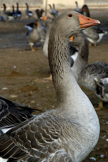 Greylag geese : Stock Photo