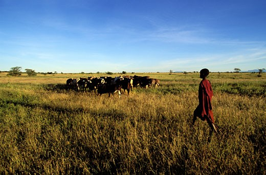 Stock Photo: 1606-46634 Tanzania, Lake Manyara national park, Masaï shepherd with his herd