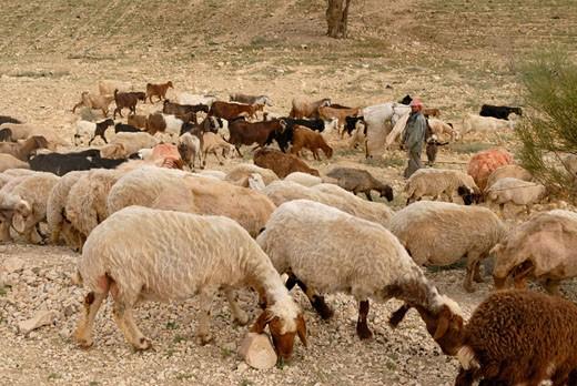 Jordan, near Madaba, herd of sheeps : Stock Photo