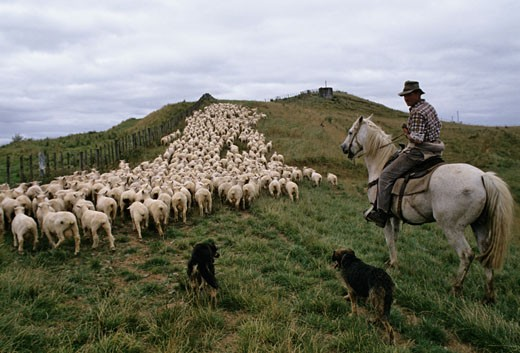 New Zealand, Tekuiti, sheep breeding : Stock Photo