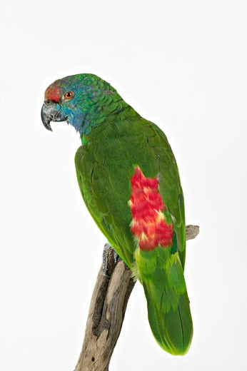 "Salvin amazon parrot (""Amazona Autumnalis salvini"") : Stock Photo"