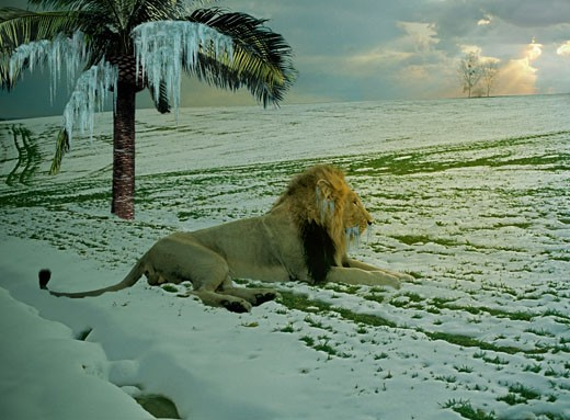 Lion lying in snow, frozen palm tree : Stock Photo