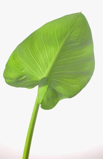 Arum leaf : Stock Photo