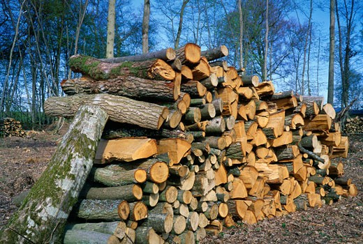 Cut wood in a forest : Stock Photo