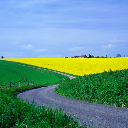 Stock Photo: 1606-54120 Road amongst canola seed and wheat fields