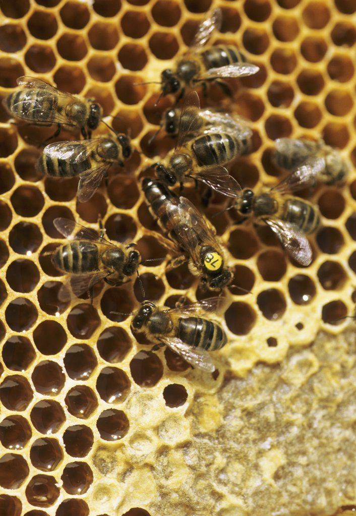 Stock Photo: 1606-56668 Bees, close-up (apis mellifica)