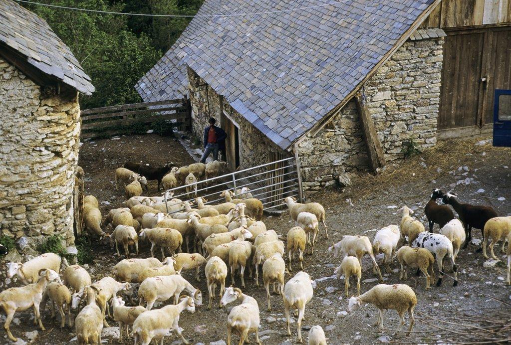 France, Midi Pyrenees, Haute Garonne, sheeps : Stock Photo