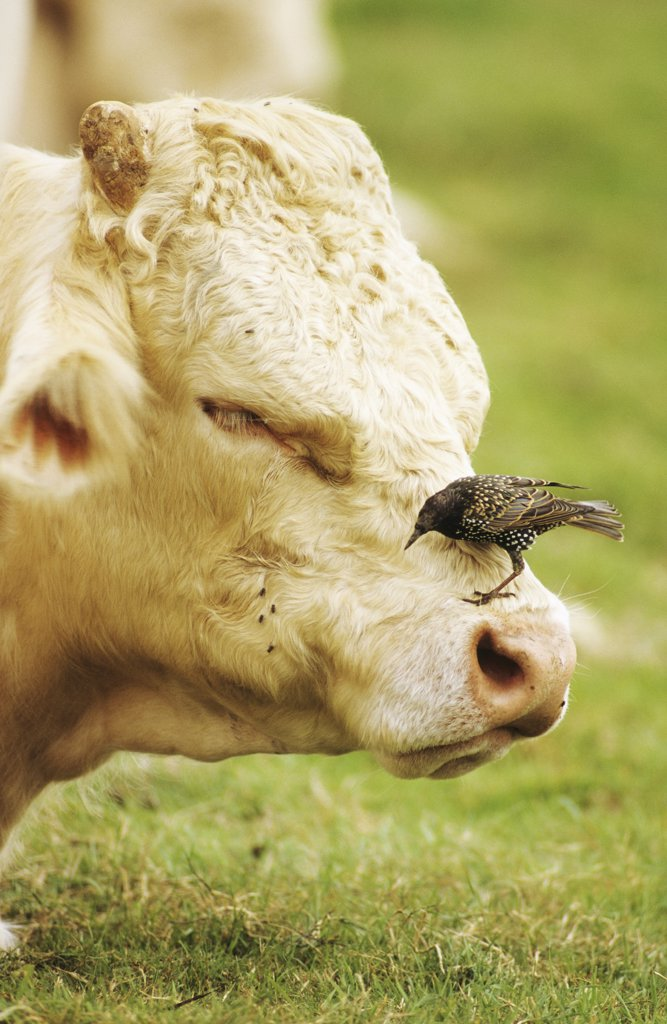 Cow and bird : Stock Photo