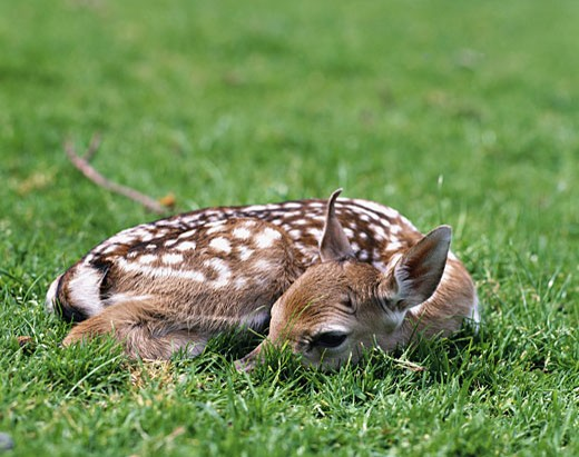 Young deer : Stock Photo