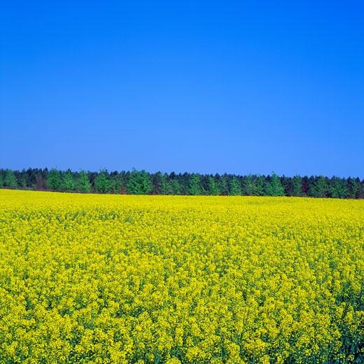 Canola seed field : Stock Photo
