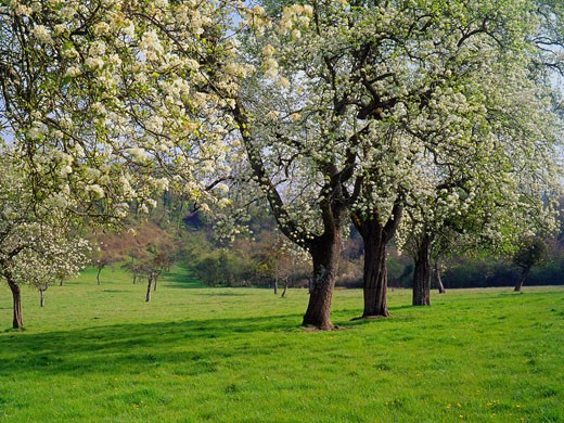 France, Basse-Normandie, Calvados, apple-trees and pear trees in blossom : Stock Photo